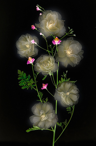 Ghost Flowers by Harold Davis