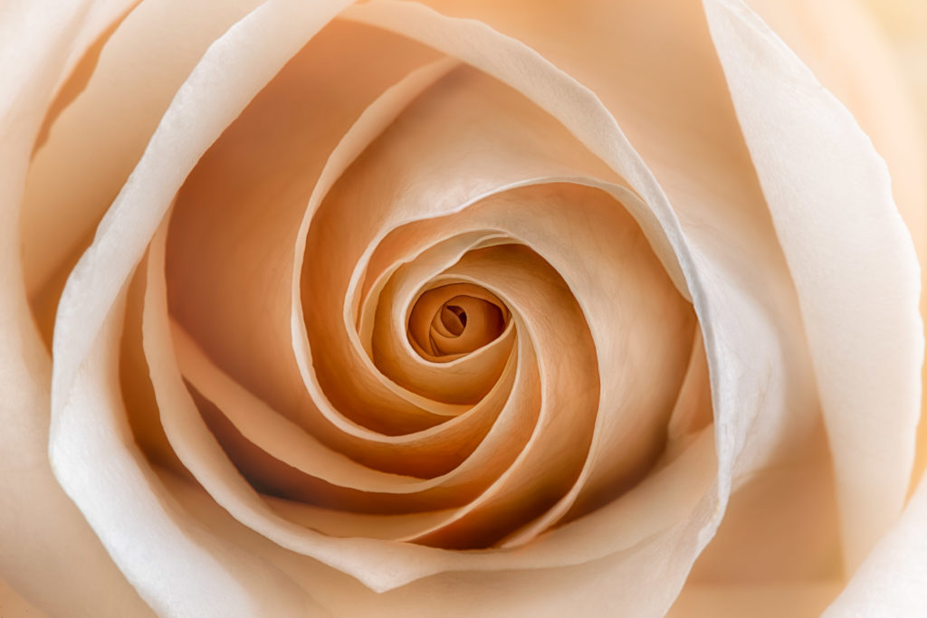 White Rose with a Blush 2 © Harold Davis